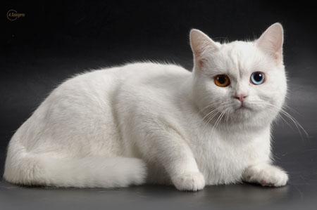 шотландская кошка белая прямоухая фото